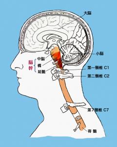 上部頸椎と脳幹の関係性